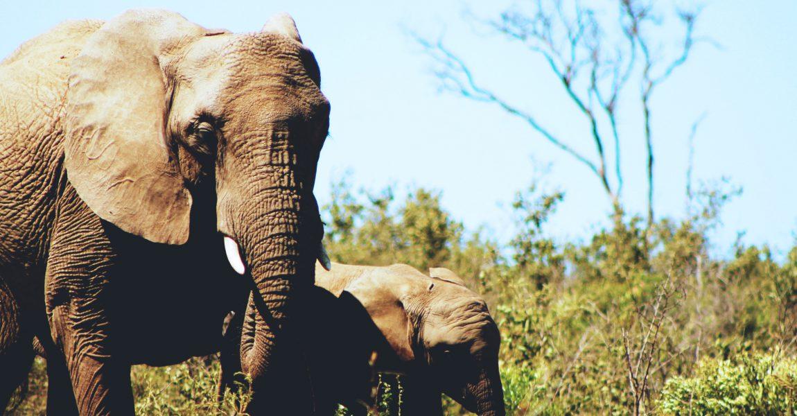 Saving Elephants in Afrika Fund Raising