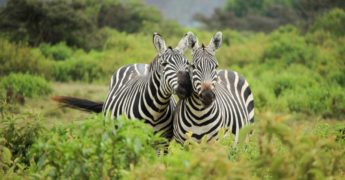 Help send the two Zebras back to Afrika